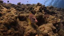 Giant Squirrelfish Over Coral Formation