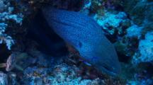Giant Moray Eel Free Swimming Over Colourful Corals