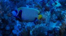 Emperor Angelfish Swims Between The Soft Corals
