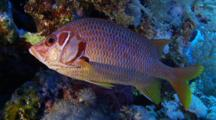 Giant Squirrelfish Hides On The Reef