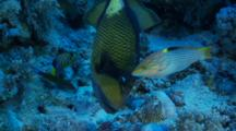 Titan Triggerfish Bites A Piece Of Coral