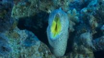 Yellowmouth Moray Eel In Cleaning Station With Shrimp Inside Its Mouth