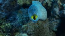 Yellowmouth Moray Eel In Cleaning Station Opens Its Mouth For The Shrimp