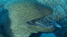 Giant Moray Eel Mouth Open, Being Cleaned By Arabian Cleaner Wrasse