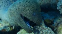 Arabian Cleaner Wrasse Enters Giant Moray Eels Mouth