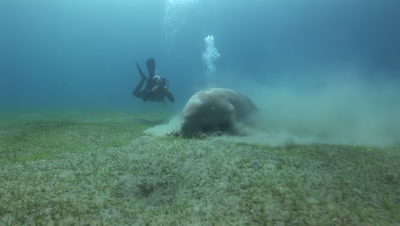 Dugong feeding at the bottom of the sea