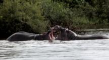 Hippo (Hippopotamus Amphibius) Adult Males Tussle And Mock Battle Showing Tusks During Mating Season Kruger National Park