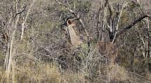 Greater Kudu (Tragelaphus Strepsiceros) Male Woodland Antelope In Bushland Browses On Small Tree, Kruger National Park