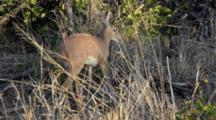 Steenbok (Raphicerus Campestris) Feeding Grazing In Scrub Kruger National Park