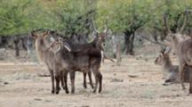 Waterbuck (Kobus Ellipsiprymnus) Antelope Small Group Bull And Cows Startled Behaviourkruger National Park
