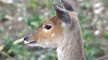 Greater Kudu (Tragelaphus Strepsiceros) Females Small Group Antelopes, Grazing On Grassland Being Groomed By Red-Billed Oxpecker Birds (Family Buphagidae) Kruger National Park