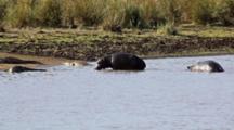 Hippos (Hippopotamus Amphibius) Walking Out Of River Among Nile Crocodiles (Crocodylus Niloticus) Kruger National Park