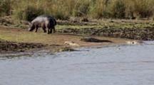 Hippos (Hippopotamus Amphibius) On Bank Of River Among Nile Crocodiles (Crocodylus Niloticus) Yawning Threat Display Kruger National Park
