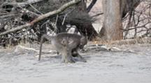 Chacma Baboon (Papio Ursinus), Also Known As The Cape Baboon, Mother And Infant Feeding On Ground Kruger National Park