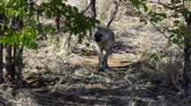 Spotted Hyena (Crocuta Crocuta), Also Known As The Laughing Hyena Or Tiger Wolf Cub Cubs Playing In Kruger National Park