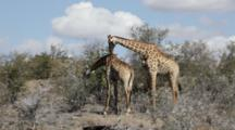 Giraffe (Giraffa Camelopardalis) Male And Female Rub Necks Mating Ritual Kruger National Park