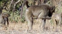 Chacma Baboon (Papio Ursinus), Also Known As The Cape Baboon, Browsing On Ground Kruger National Park
