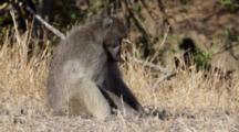 Chacma Baboon (Papio Ursinus), Also Known As The Cape Baboon, Large Male Sits Browsing On Ground Kruger National Park