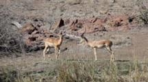 Impala (Aepyceros Melampus) Young Bulls Sparring, Locking Horns, Preparing For Mating, Kruger National Park