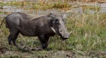 Warthog Or Common Warthog (Phacochoerus Africanus, African Lens-Pig) Grazing On Grass On Riverbank Kruger National Park