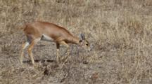 Steenbok, (Raphicerus Campestris), Foraging And Feeding On Grass  Kruger National Park
