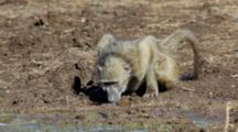 Chacma Baboon (Papio Ursinus), Also Known As The Cape Baboon,  Drinking Water On Bank Of Waterhole Kruger National Park