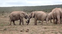 Young Male Bull African Elephants (Loxodonta Africana) With Tusks Sparring Mock Fighting In Breeding Season Addo Elephant National Park