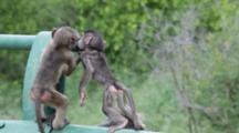 Chacma Baboons (Papio Ursinus) Troop Juveniles Playing On Rails Of Road Bridge Kruger National Park