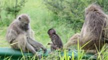 Chacma Baboons (Papio Ursinus) Troop Juvenile Playing On Rails Of Road Bridge held restrained by adult Kruger National Park