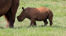 White Rhinoceros Or Square-Lipped Rhinoceros (Ceratotherium Simum) calf Baby Juvenile With Mother Browsing Kruger National Park