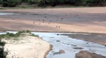 Chacma Baboons (Papio Ursinus) Troop adults juveniles babies Running On River Bank Before Crossing River Kruger National Park