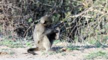 Chacma Baboon (Papio Ursinus), Also Known As The Cape Baboon, Juvenile Examines Foot Kruger National Park