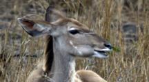 Greater Kudu (Tragelaphus Strepsiceros), A Woodland Antelope, Female Chewing Cud Facing Camera Kruger National Park