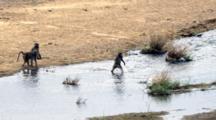 Chacma Baboon (Papio Ursinus) Troop Crossing River On Tiptoes Kruger National Park
