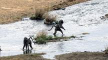 Chacma Baboons (Papio Ursinus) Troop Crossing River Big Male Chases Juvenile Which Is Rescued By Mother Kruger National Park