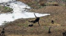 Chacma Baboons (Papio Ursinus) Slomo Troop Crossing River Big Male Chases Juvenile Rescued By Mother Who Fights With Male Kruger National Park