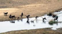 Chacma Baboons (Papio Ursinus) Troop Crossing River Kruger National Park