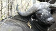 African Buffalo, Affalo Or Cape Buffalo (Syncerus Caffer) Face Closeup With Oxpecker Bird Cleaning His Ear Grooming Slomo Kruger National Park