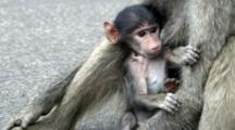 Chacma Baboon (Papio Ursinus), Also Known As The Cape Baboon, Mother Breast Feeding Infant Slomo Kruger National Park