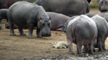Hippo (Hippopotamus Amphibius) Adults juveniles With Nile Crocodile On Bank Of Waterhole Grazing Slomo Kruger National Park