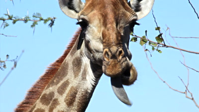 Giraffe (Giraffa Camelopardalis) Adult Licking Face With Long Blue Tongue Kruger National Park