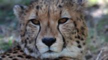 South African cheetah (Acinonyx jubatus jubatus) Looking At Camera While Lying Down