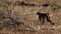 Chacma Baboon (Papio Ursinus), Also Known As The Cape Baboon, Juvenile Walking Through Scrub Kruger National Park
