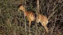 Greater Kudu (Tragelaphus Strepsiceros), A Woodland Antelope, Female Browsing On Small Bush, Kruger National Park