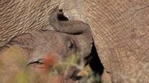 African Elephant (Loxodonta Africana) Calf Baby Nursing From Mother Addo Elephant National Park