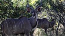Greater Kudu (Tragelaphus Strepsiceros) Male Woodland Antelope Chewing, Looks At Camera, Then Walks Away Kruger National Park