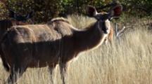 Greater Kudu (Tragelaphus Strepsiceros) Female Woodland Antelopes, Grazing On Grassland In Small Group Kruger National Park