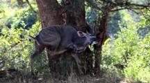 Greater Kudu (Tragelaphus Strepsiceros) Male Woodland Antelope In Bushland, Uses Back Leg To Scratch, Then Browses On Small Tree, Kruger National Park