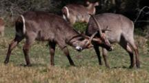Waterbuck (Kobus Ellipsiprymnus) Antelope Young Bulls Lock Horns Sparring For Dominance At Start Of Breeding Season Kruger National Park