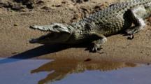 Nile Crocodile (Crocodylus Niloticus) Resting On Sandbank In River Basking In Sun Kruger National Park